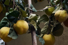 Large Yellow Fruit Quince On T...