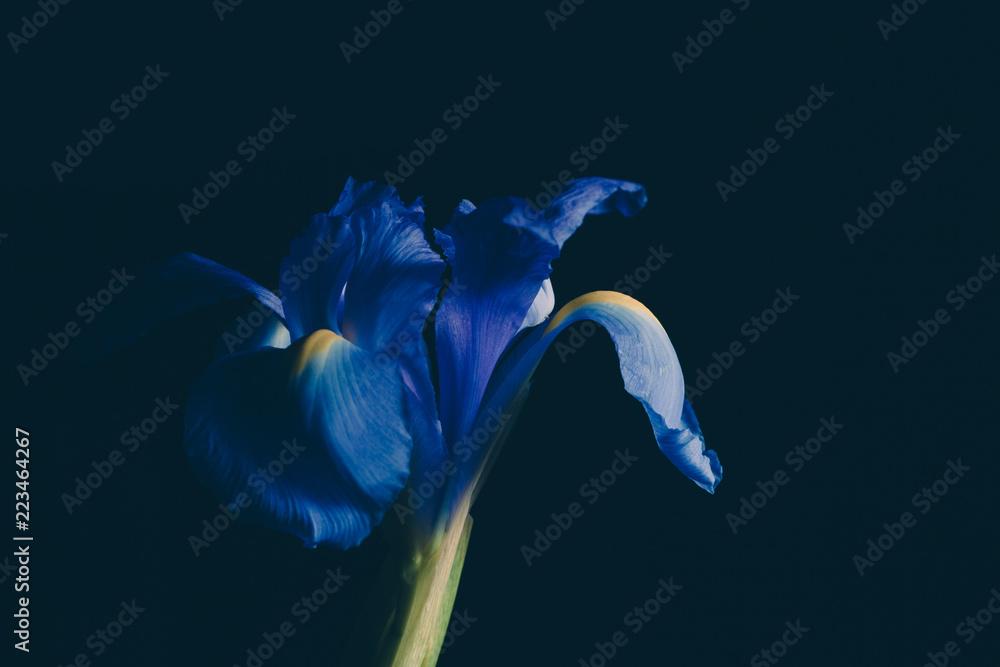Fototapeta Blue iris flower on dark faded background - studio shot