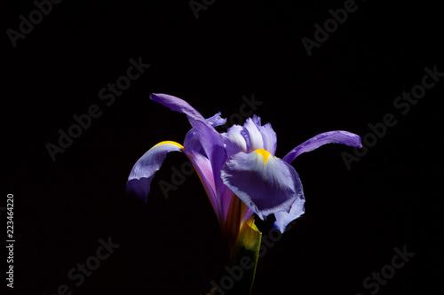 Closeup of beautiful purple blue iris flower head on black background