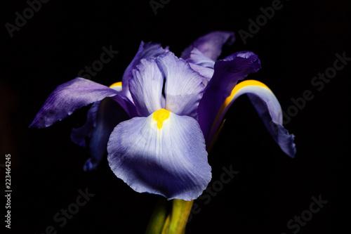 Foto op Plexiglas Iris Extreme closeup of purple blue iris flower head on black