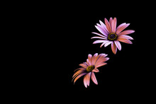 Two Daisy Flower Heads Isolate...