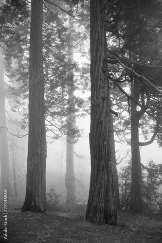 Fotografering  Spooky forest with fog and old trees