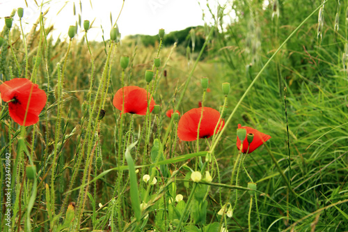 Poppy flower on the field of wheat summertime