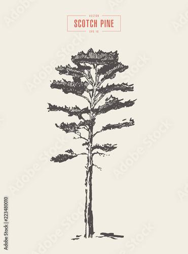 Fotografia, Obraz  Vintage scotch pine hand drawn vector detail
