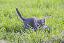 Gray Kitten Hunts In The Grass