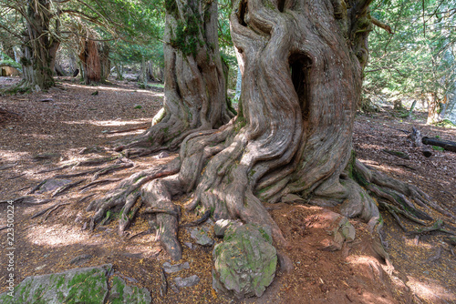 Yew-tree forest of Tejeda de Tosande, Palencia province, Spain