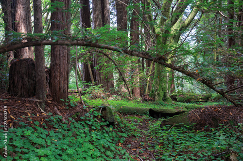 Branch bends over small dirt path in redwood forest