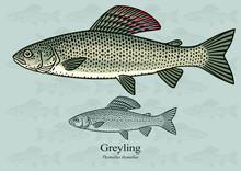 Greyling. Vector Illustration ...