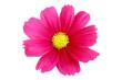 Leinwandbild Motiv Beautiful pink cosmos flower isolated on white background with clipping path.