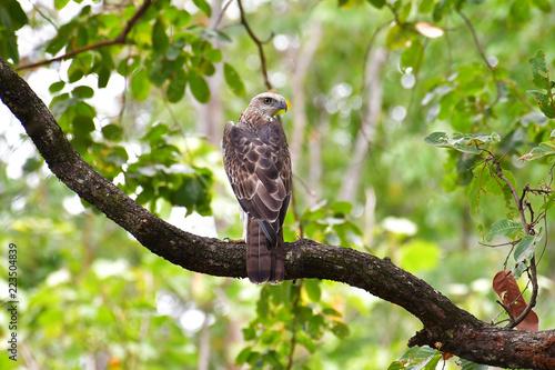 Changeable Hawk Eagle Bird