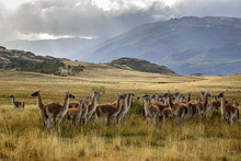 Group Of Guanacos At Chacabuco Valley