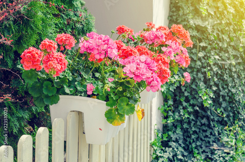 Flowers of primroses in white pots on a wooden fence