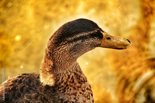 Photo  Beautiful duck in the municipal park of Elche