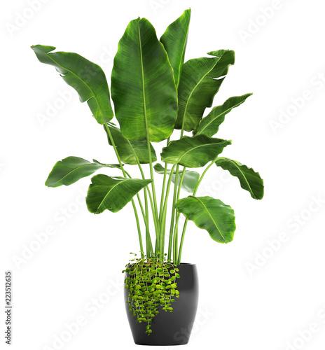 Poster Vegetal Banana palm, Ravenala palm in a pot