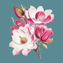 Campbell's Magnolia (Magnolia Campbellii), Flowering Plant From Illustrations Of Himalayan Plants (1855) By W. H. (Walter Hood) Fitch (1817-1892). Digitally Enhanced By Rawpixel.