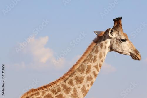 Spoed Foto op Canvas Giraffe portrait of giraffe