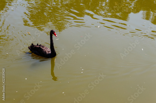 Black swan swimming on the lake surface