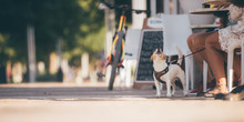 In Vacation With Dog Concept - Barking (woof) Little White Dog Next To Owners Sitting In The Bar - Warm Summer Or Autumn Image With Copy Space