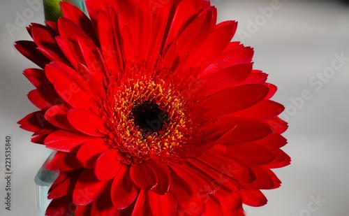 Fotobehang Gerbera Gerbera Daisy Red 2