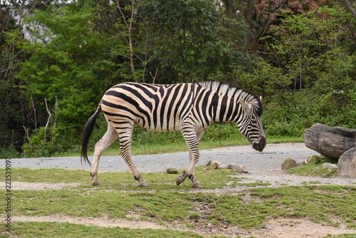 Tuinposter Zebra シマウマ