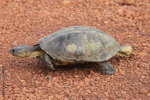 Foto op Aluminium Schildpad turtle on the road