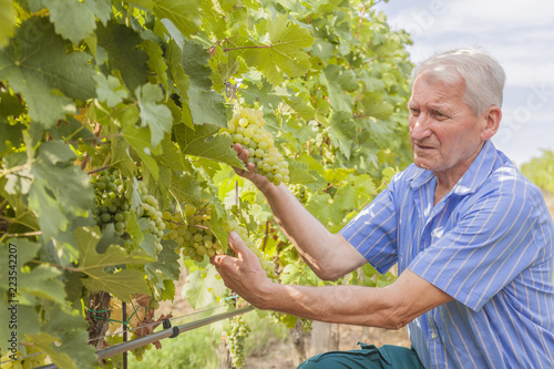 Fotografía  winegrower examines ripeness of the grapes