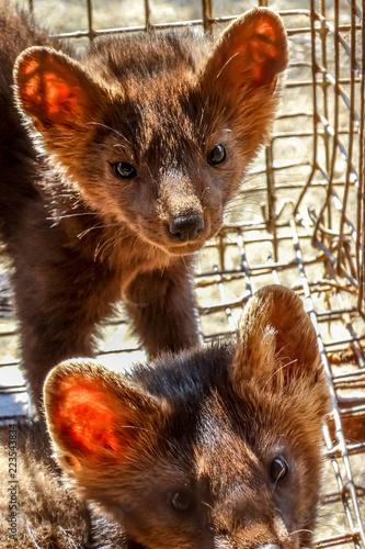 Fotografie, Obraz  Siberian (Barguzin) sable in a cage, fur farm, close-up.