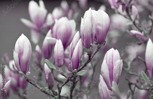 Fotobehang Magnolia Pink and White magnolia flowers in full bloom