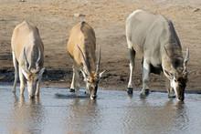A Group Of Eland Antelopes Are Drinking Water At The Waterhole, Etosha National Park, Namibia, Africa