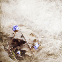 Hepatica Blooms. Card With Spr...