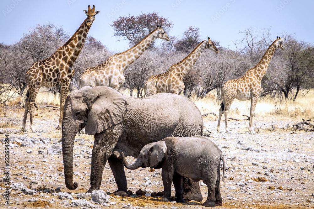 Elephants and giraffes in the Etosha National Park, Namibia, Africa