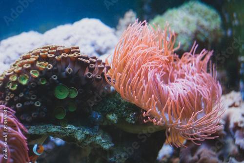 Tableau sur Toile Sea Anemone and in aquarium. Marine life.