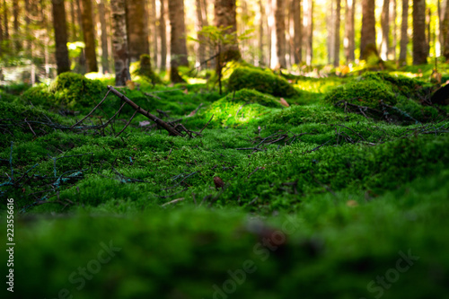Fototapeta Magic morning forest with a soft carpet of moss in the north of the Khabarovsk region of Russia obraz