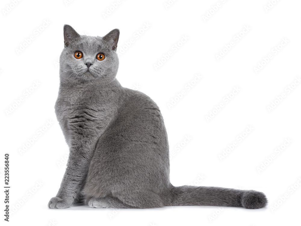 Fototapety, obrazy: Sweet young adult solid blue British Shorthair cat kitten sitting side ways with tail straight behind body, looking at lens with orange eyes , isolated on white background