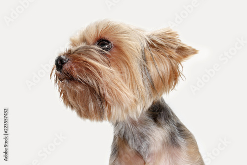 Fototapeta Yorkshire terrier at studio against a white background