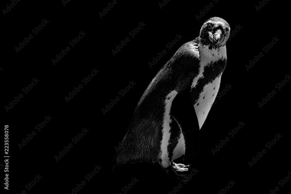 funny penguin isolated on black background