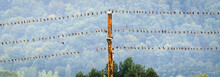 Birds Resting On Electric Or T...