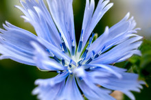 A Macro Of A Stoke's Aster (Stokesia Laevis), A Native Flower Of Florida Also Known As A Cornflower, With Light Blue-purple Petals And A White Center.