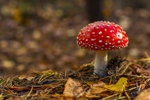 Fly Agaric.mushroom In Forests.