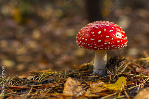 fly agaric.mushroom in forests. Tablou Canvas
