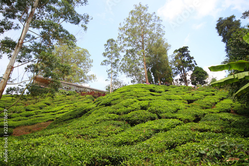 Deurstickers Asia land Tea plantation Cameron highlands, Malaysia