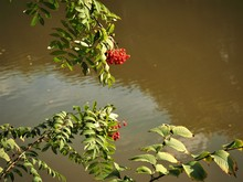 Rowan Berries On A Branch With Green Leaves Overhanging A River