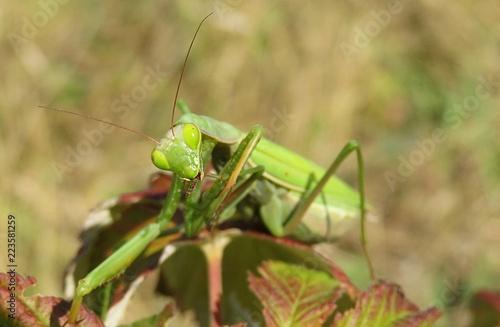 Fotografie, Obraz  Green mantis on leaves