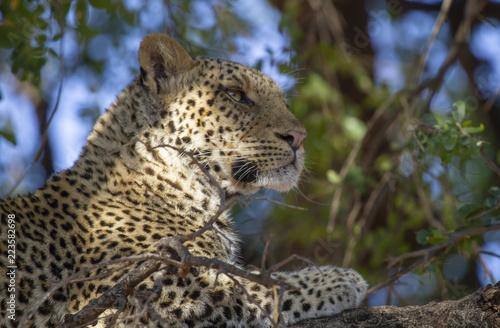 leopard of Mashatu