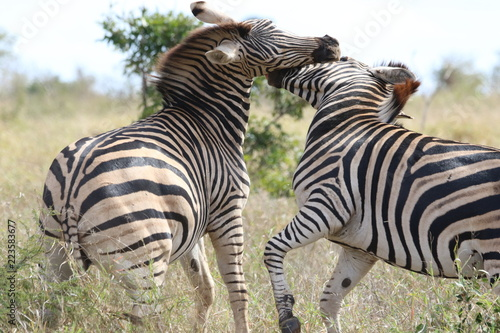 Tuinposter Zebra zebra in africa