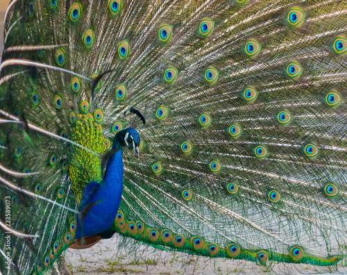 peacock presents its beautiful feathers