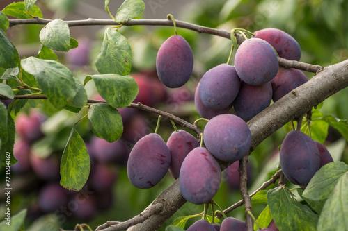 abundance of damson plums