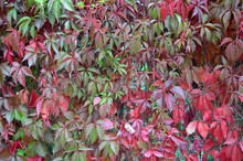 Beautiful Background Of Autumn Leaves In The Garden On The Hedge