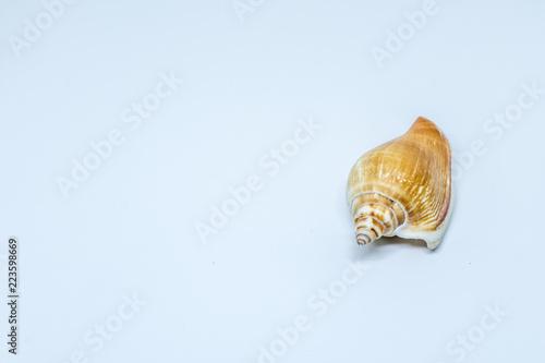 Valokuva  Concha fundo branco