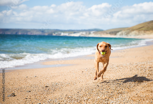 A yellow Labrador retriever dog running happily along a sandy beach on a beautiful summer day and fetching a tennis ball back to its owner with copy space Fototapet
